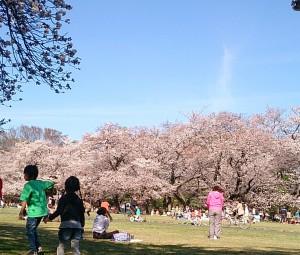 小金井公園の桜 たてもの園前