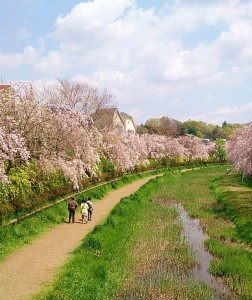 野川沿い 桜